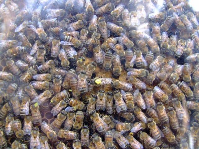 Alveare con ape regina