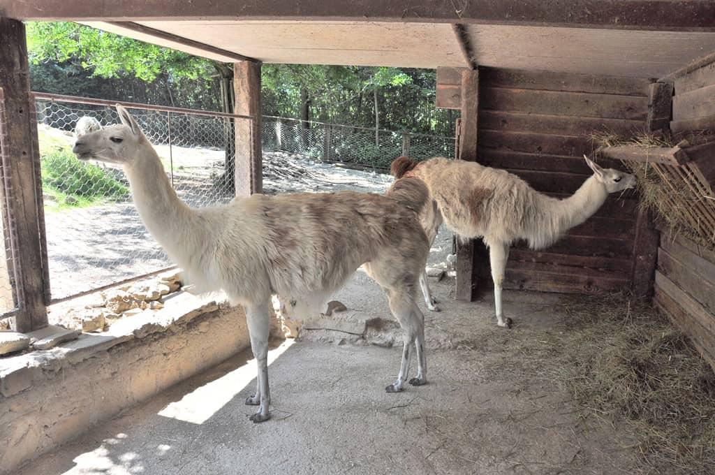 Lama presso il Parco Zoo di Falconara Marittima (AN)