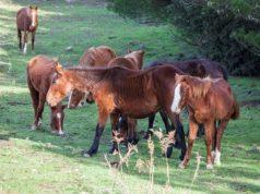 silius-branco-di-cavalli-incustodito-causa-incidenti-stradali
