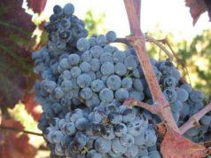 Vigne uva Sardegna