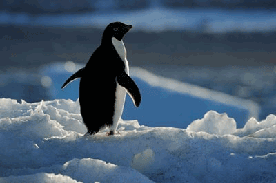 Adelie-penguins