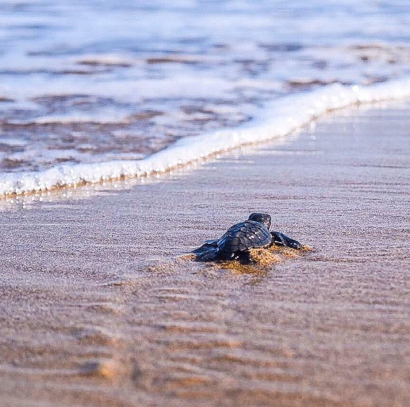 nicolas_ktorides_lara_beach_turtle