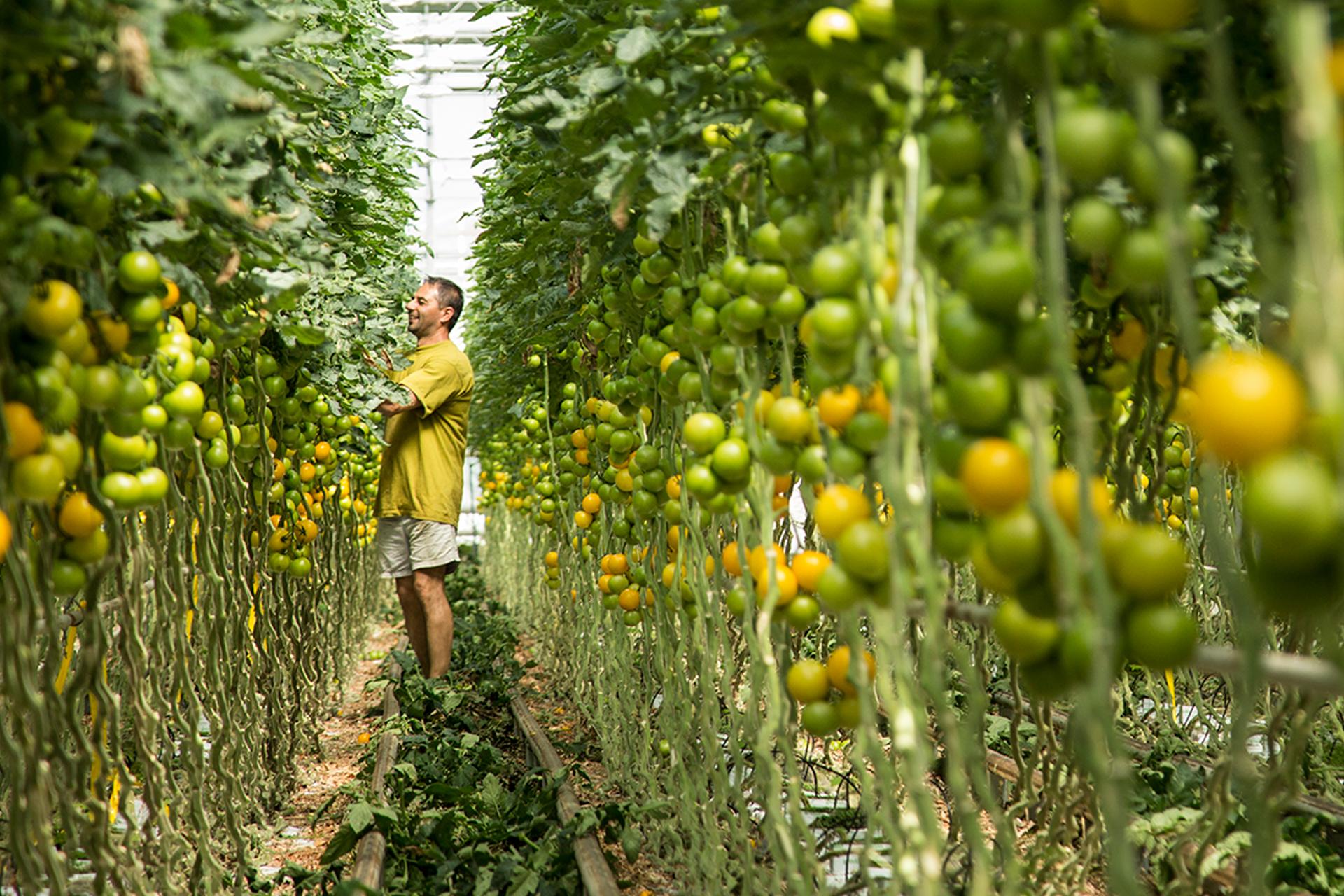 man inspecteert tomatenplanten