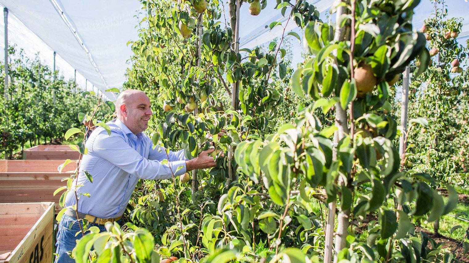 man plukt peren uit boom