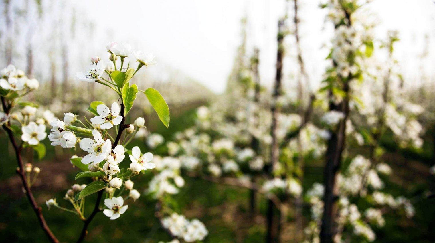 perenbomen vroeg stadium met bloem