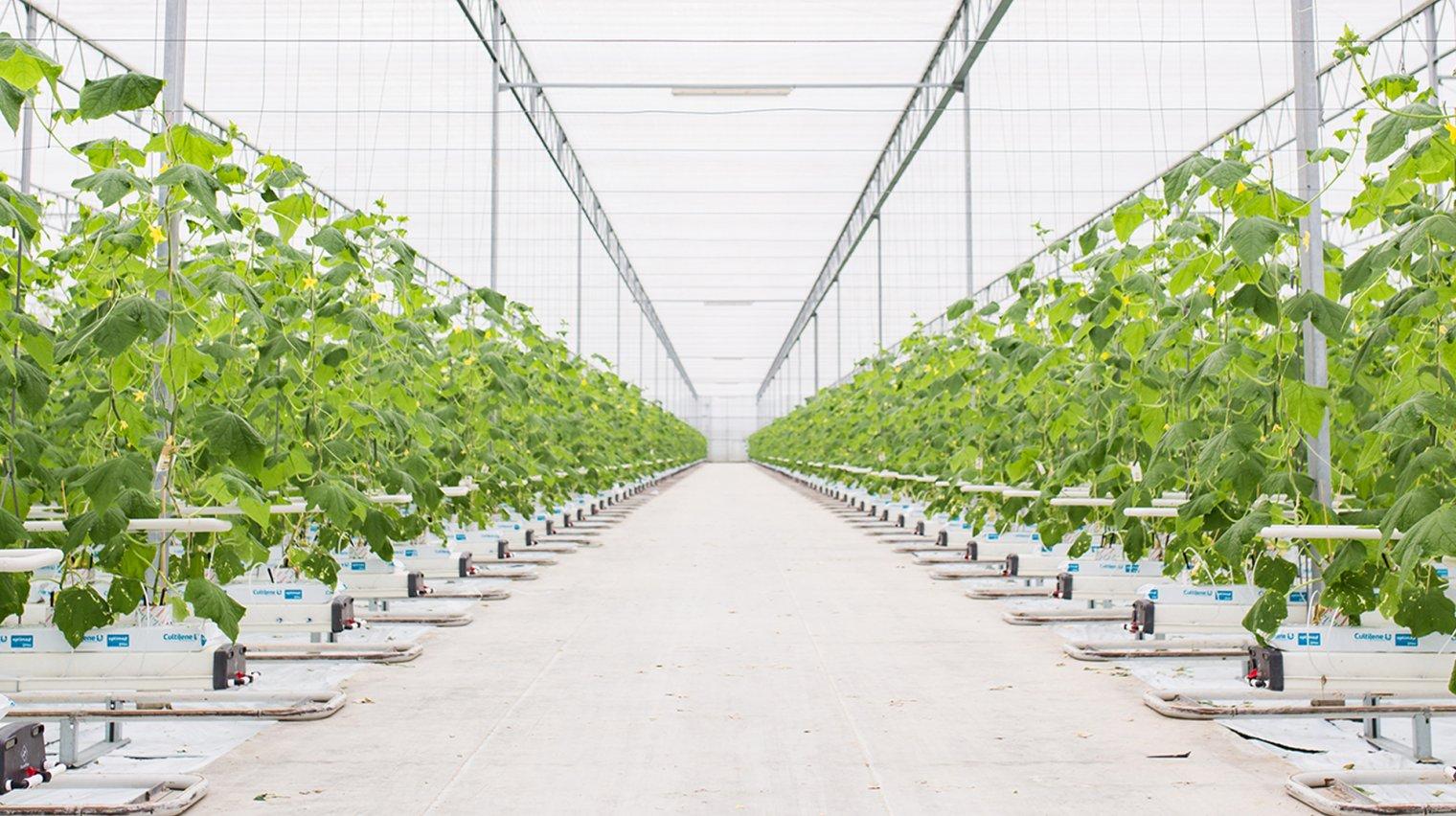 komkommer plantage