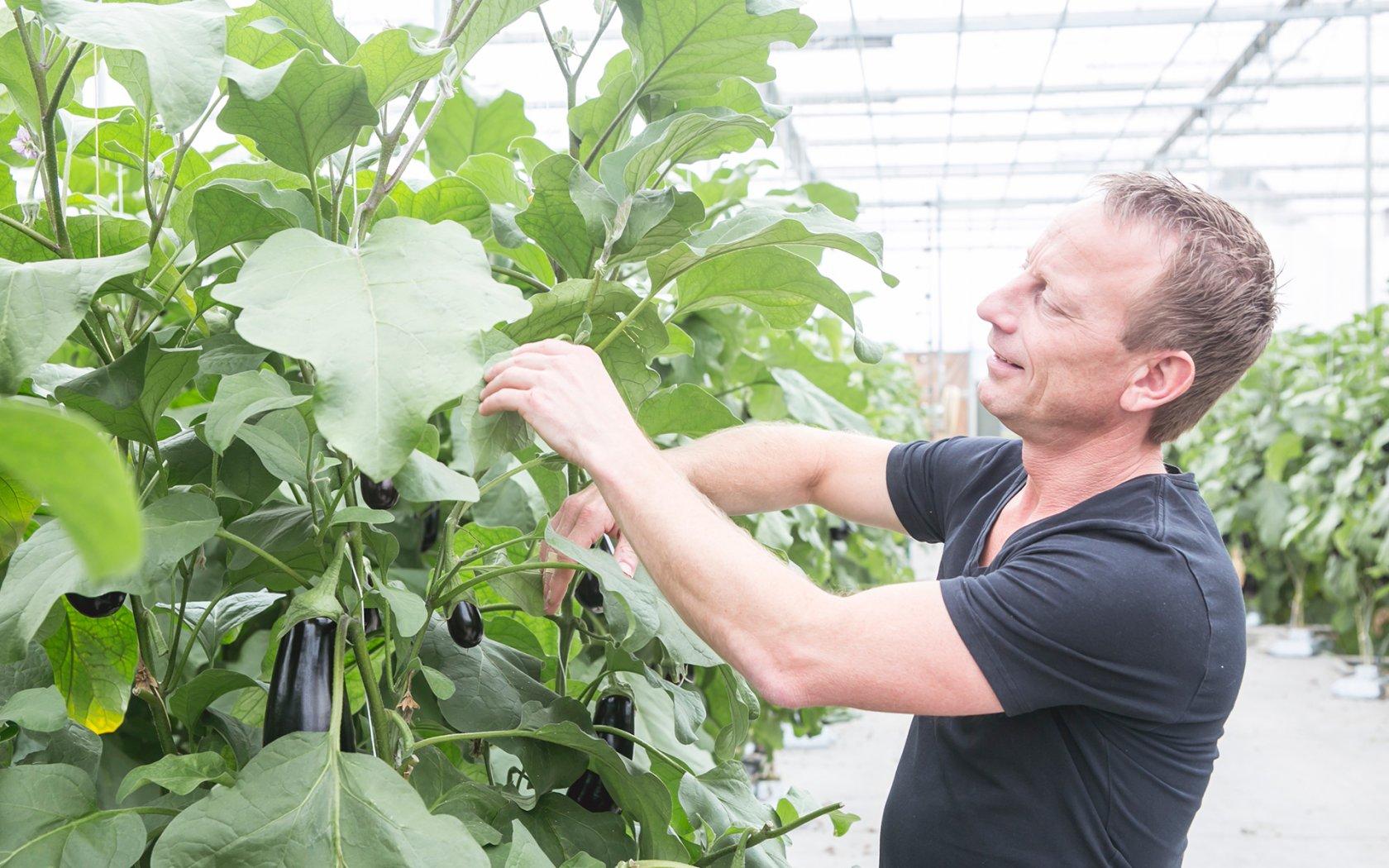 Man inspecteert aubergines