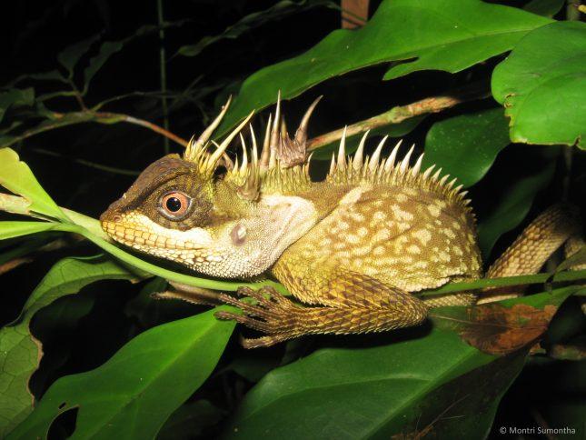 1acanthosaura-phuketensis