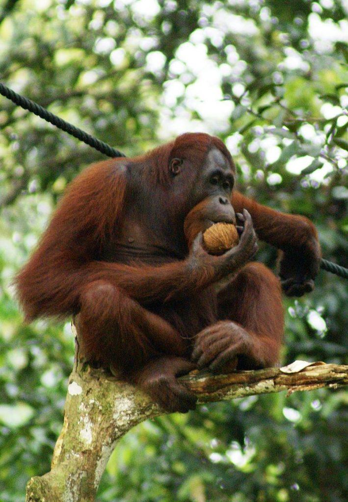 800px-orang_utan_semenggok_forest_reserve_sarawak_borneo_malaysia