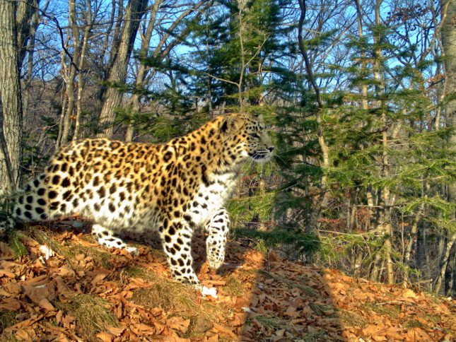 female-amur-leopard-leo-9f-denekly-moved-to-china_cameratrap-of-land-of-the-leoprad-np
