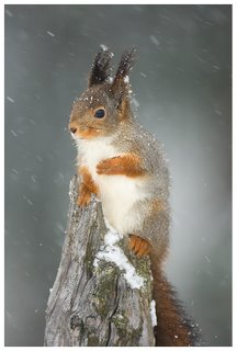 red-squirrel_v2a3174-793934