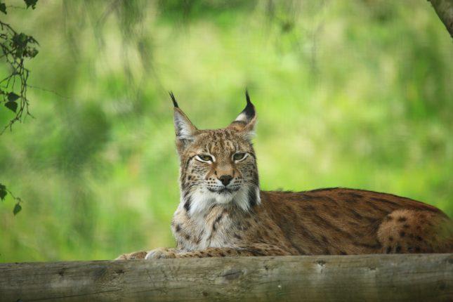 Luie lynx