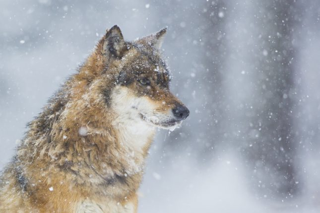 Wolf portret