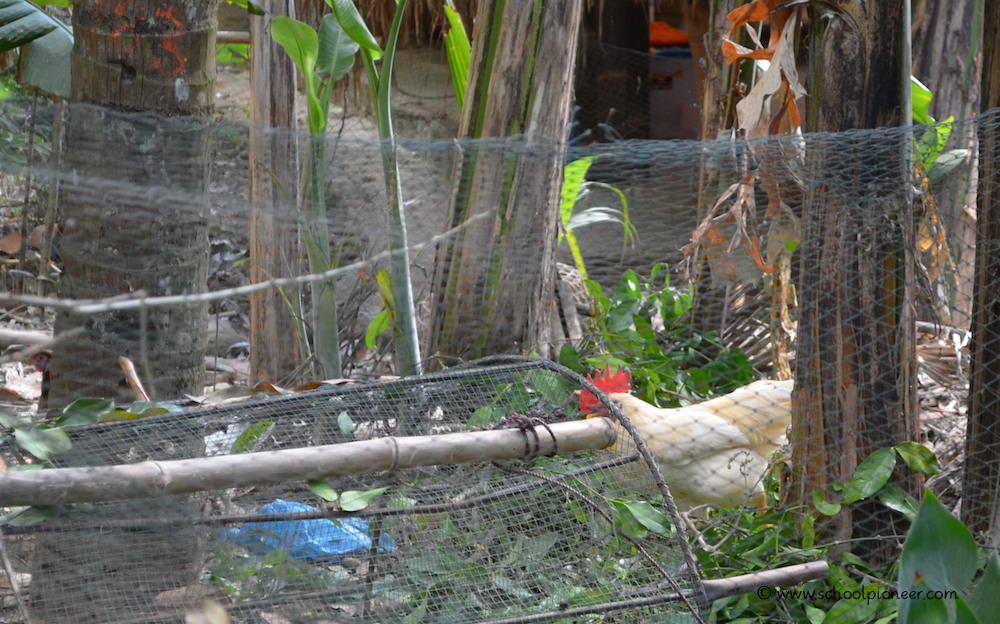 Schuleigene-Hühner-Green-School-Bali