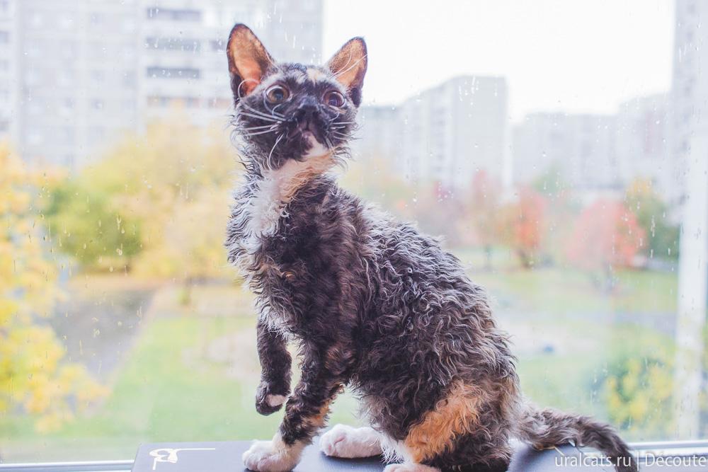 Уральский рекс котенок