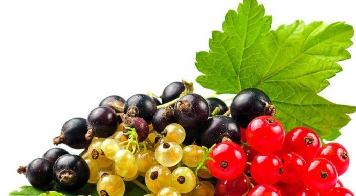 Советы для высоких урожаев смородины