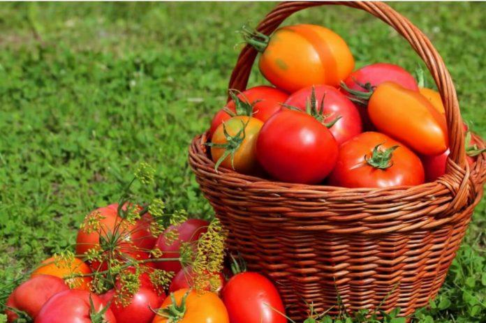 Как увеличить урожайность помидоров