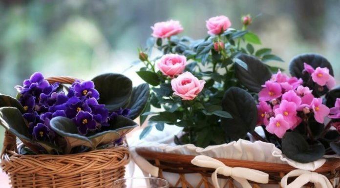 Чем подкармливать комнатные растения