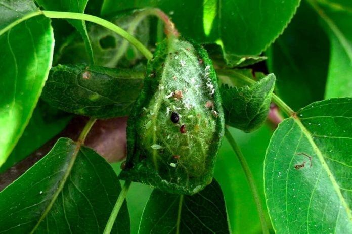 12 натуральных способов избавиться от тли