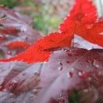 Acer palmatum dopo la pioggia