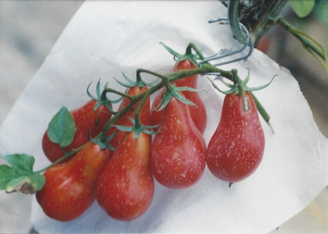 Pomodori fiaschetto