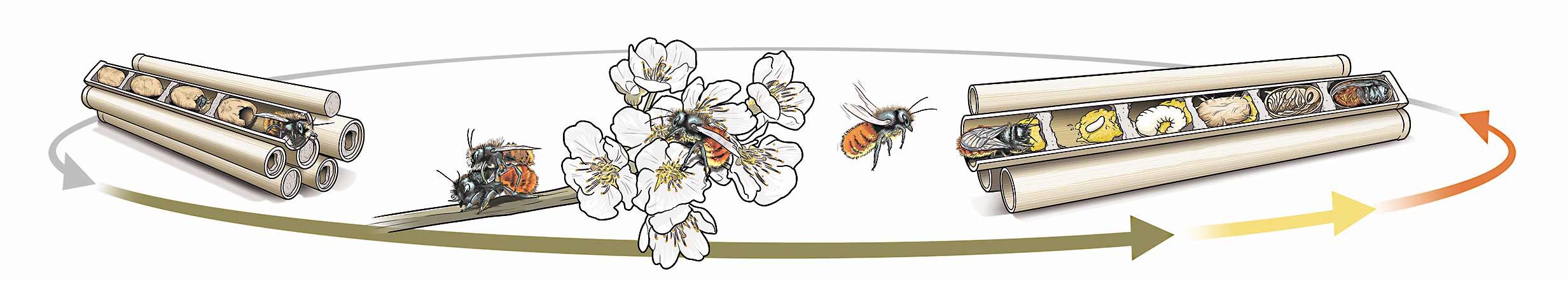 Lebenszyklus der Mauerbienen
