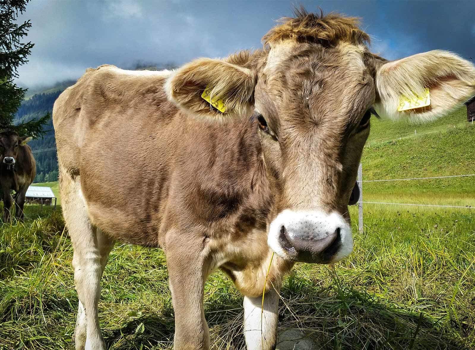 Kuh auf Weideland