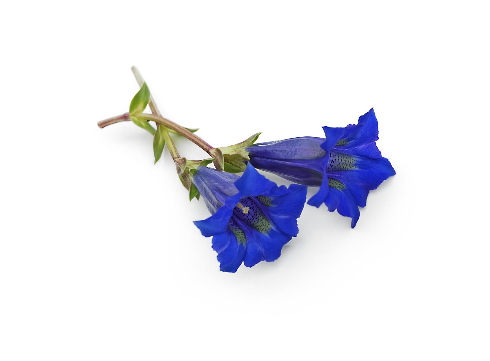 Enzian - eine aus dem Alpenraum stammende Blume | Bestswiss