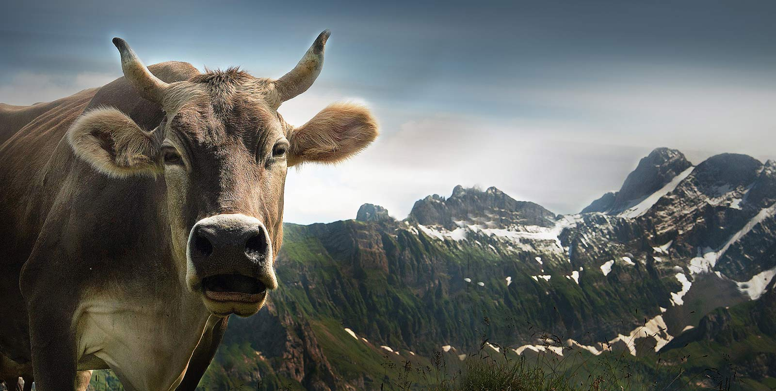 Schulferien Schweiz: Kuh mit Bergkette