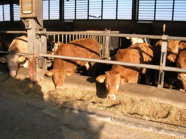 cossu-campus-e-albertino-i-vincitori-della-sesta-mostra-regionale-dei-bovini-da-carne