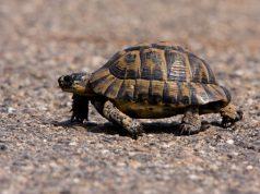 trova-una-tartaruga-in-spiaggia-e-se-la-porta-via-denunciato-un-turista