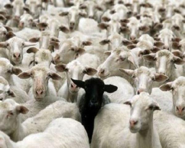 Risultato immagini per gregge di pecore morto