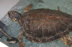 tartaruga-cieca-dalla-sicilia-a-cala-gonone-il-trasferimento-a-bordo-della-tirrenia