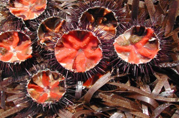 riccio-di-mare-protagonista-ad-alghero-nel-fine-settimana