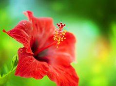 hibiscus Sgaravatti Group