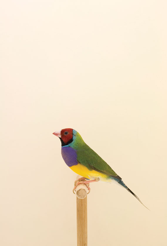 goldianfinch1_0.jpg - Incomplete Dictionary of Show Birds - 3080