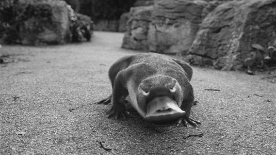 barry1_0.jpg - A platypus walks into a bar... - 5391
