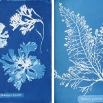 Cyanotype impression photographs of British Algae, 1843 (Photographer: Anna Atkins)