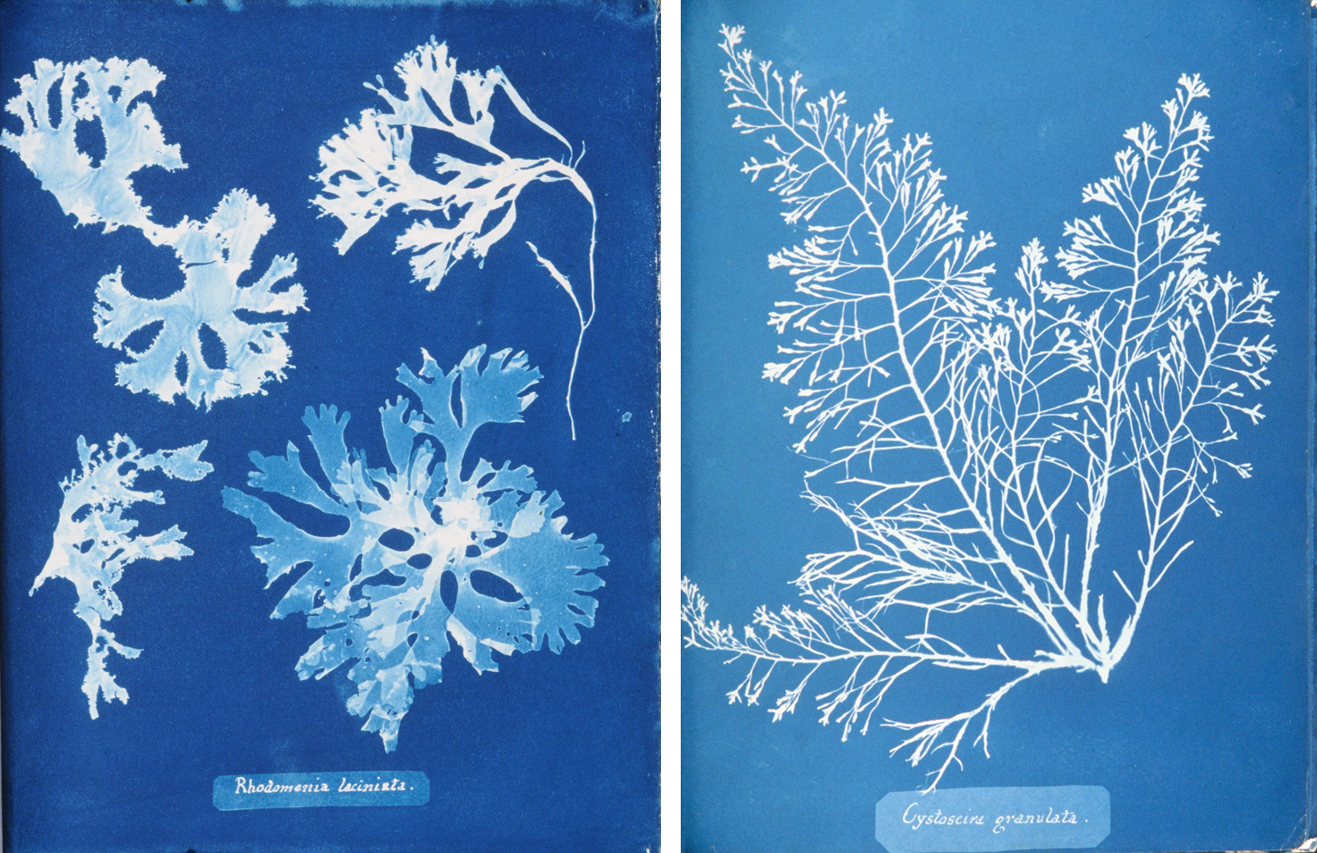 Cyanotype impression photographs of British Algae, 1843 (Photographer: Anna Atkins)