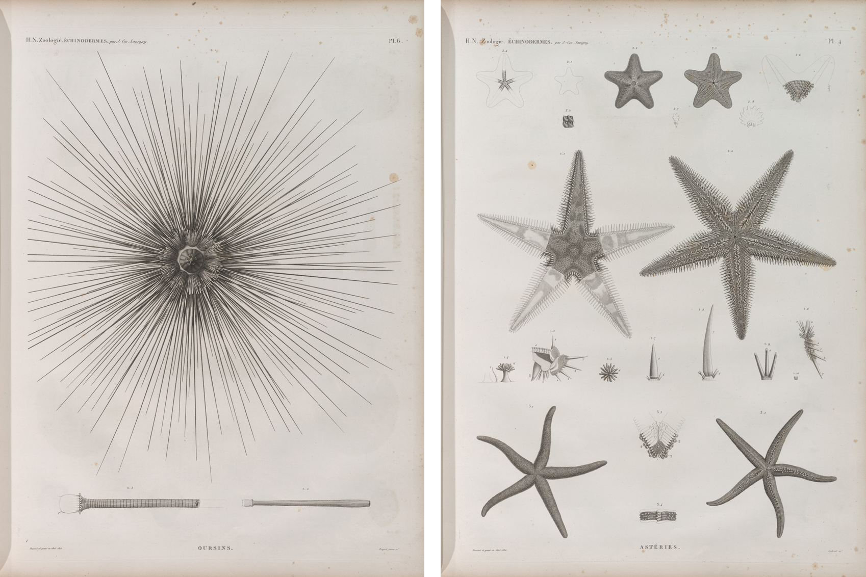 Zoologie stipple engravings or sea urchins, 1805-1812, in Egypt during the expedition of the French army