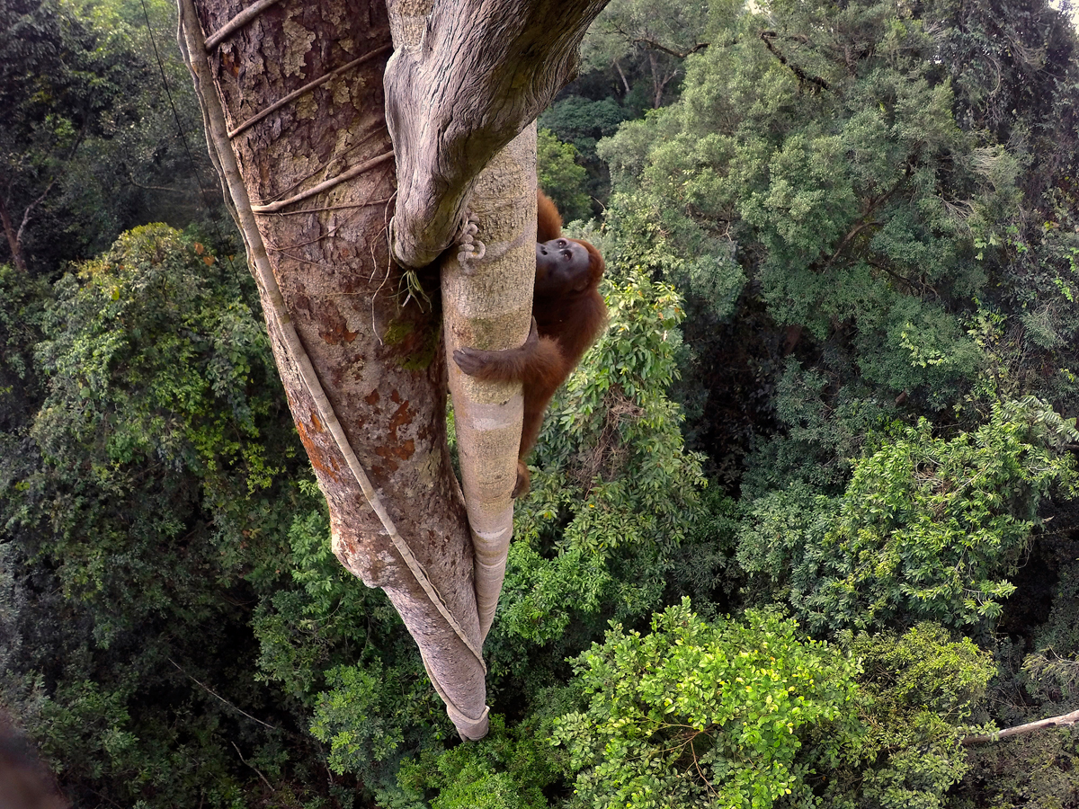 Tough Times for Orangutans, Tim Laman, USA, 2015. A Bornean orangutan climbs over 30 meters up a tree in the rain forest of Gunung Palung National Park, West Kalimantan, Indonesia, 12 August 2015.