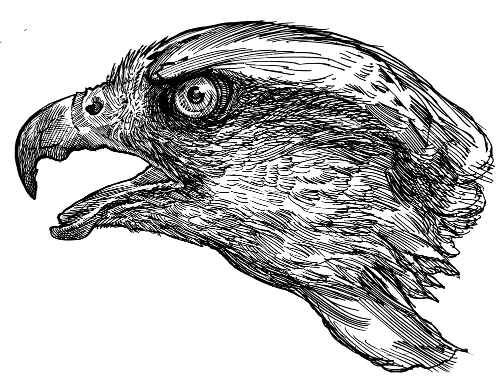 03_Goshawk_Head
