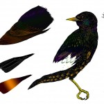 05_Starling-Drw_colour_Bits_01