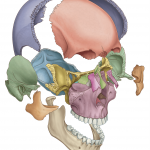 Exploded skull by Antbits, as featured in the current edition of Gray's Atlas of Anatomy