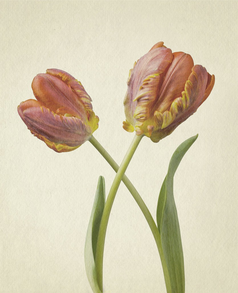 Tulips, Photography: Richard Maxted