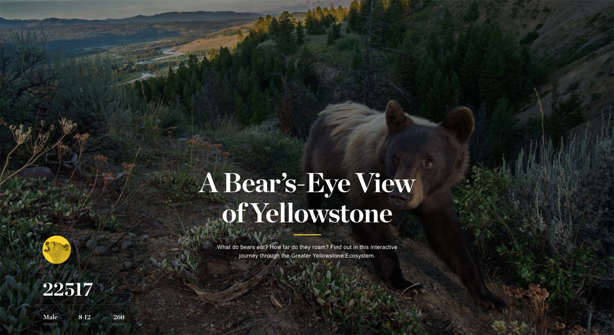 National Geographic Yellowstone Park website, A Bear's Eye View
