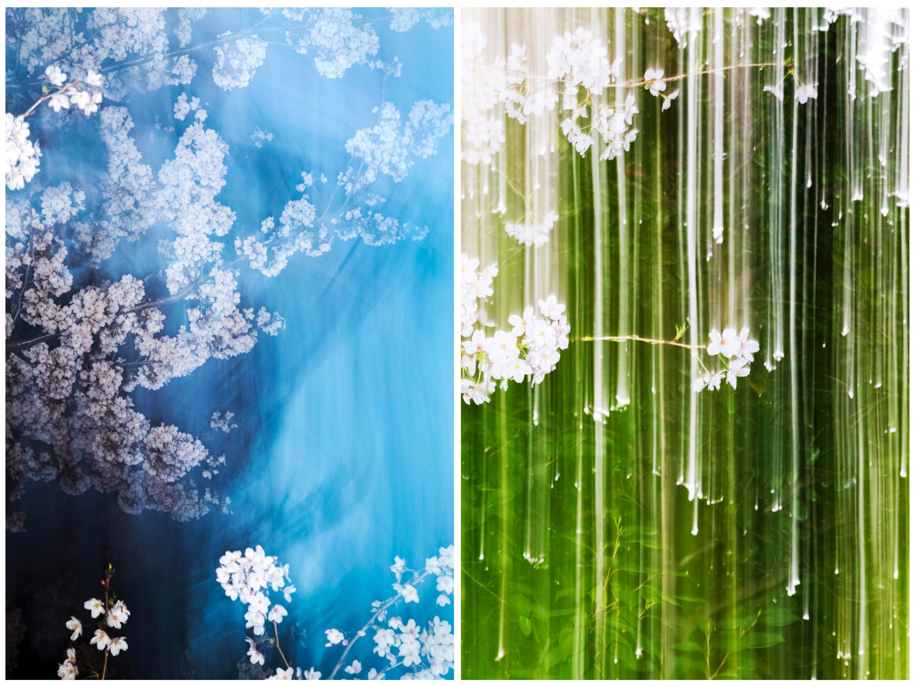 Two images from the Sakura series © Yoshinori Mizutani, courtesy by IBASHO