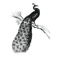 Antique illustration of a peacock. Published in American