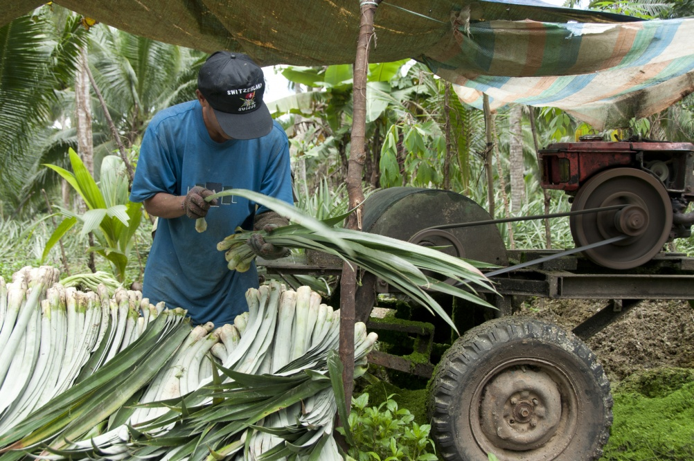 Harvesting pineapple leaves