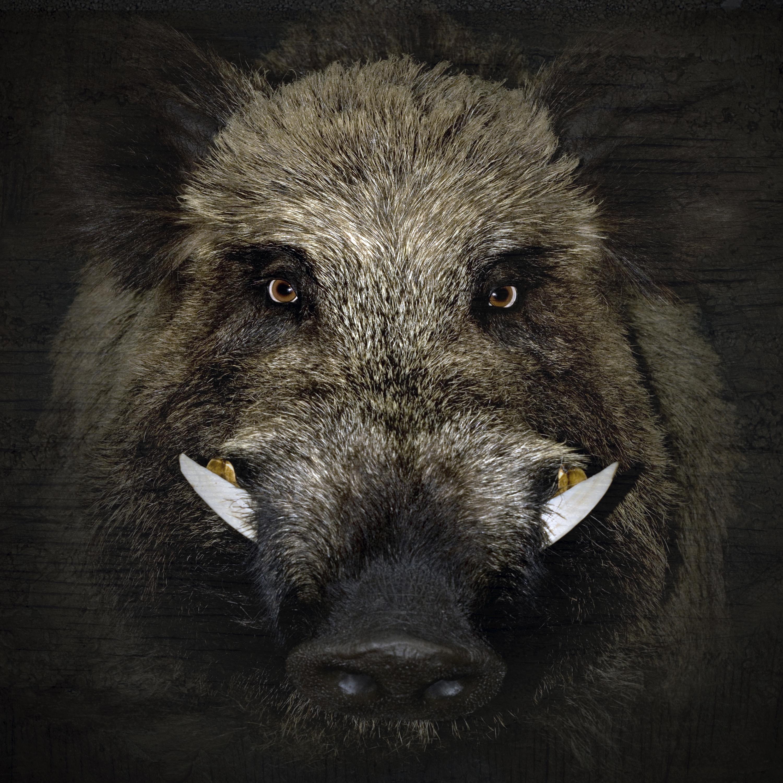 Wild boar animal beast